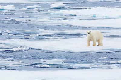 Photograph - Polar Bear Walking On Sea Ice by Anna Henly