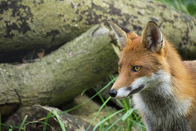 Photograph - Red Fox by Kuni Photography