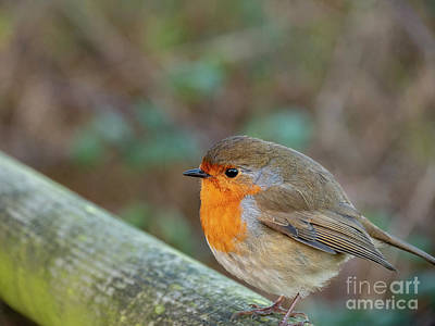 Photograph - Robin Redbreast by Jim Orr