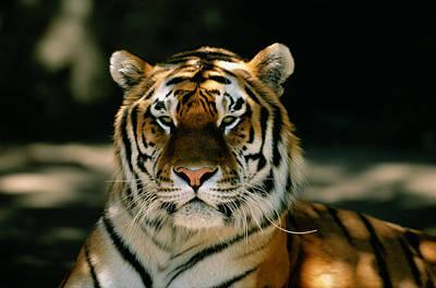 Lying Down Photograph - Siberian Tiger Panthera Tigris Altaica by David Ponton