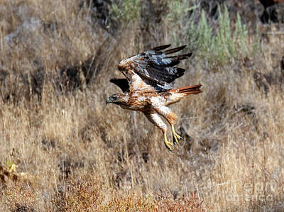 Red Tail Hawk Wall Art - Photograph - Talons Down by Mike Dawson