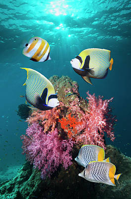 Thailand Photograph - Tropical Coral Reef Fish by Georgette Douwma