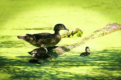 Photograph - Wood Duck Family by Edward Peterson