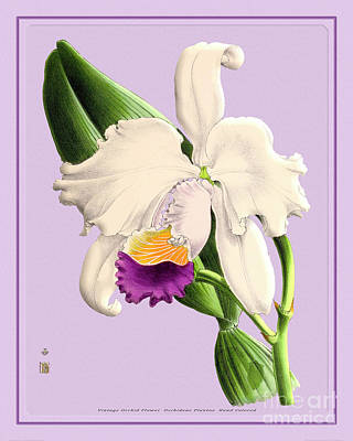 Colorful People Abstract Royalty Free Images - Orchid Flower Orchideae Plantae Antique Royalty-Free Image by Baptiste Posters