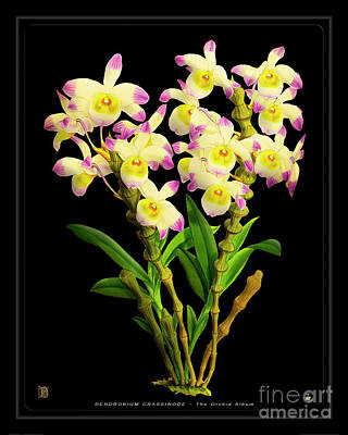 Drawings Royalty Free Images - Vintage Orchid Print on Black Paperboard Royalty-Free Image by Baptiste Posters