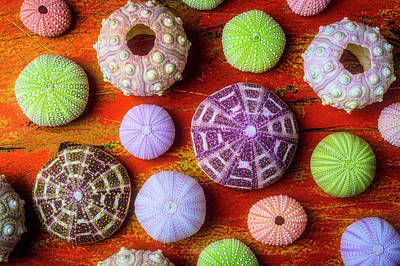 Photograph - Assorted Sea Urchins by Garry Gay