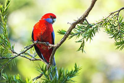 Photograph - Crimson Rosella by Rob D