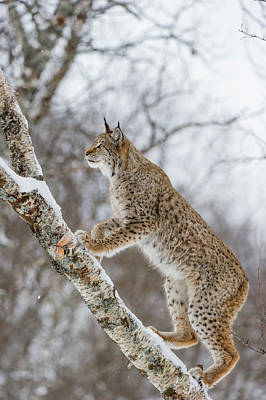 Branch Photograph - Eurasian Lynx In Winter, Norway by Roger Eritja