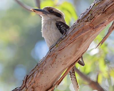 Photograph - Kookaburra On A Branch by Merrillie Redden