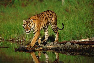 Photograph - Siberian Tiger Panthera Tigris Altaica by Tim Fitzharris/ Minden Pictures