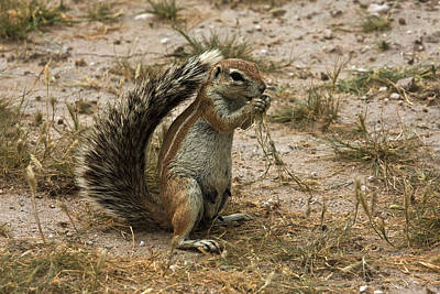 Photograph - South African Ground Squirrel by David Hosking