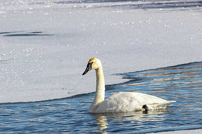 Photograph - Trumpeter Swan by Michael Chatt