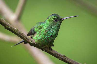 Photograph - Western Emerald Jardin Botanico Del Quindio Calarca Colombia by Adam Rainoff