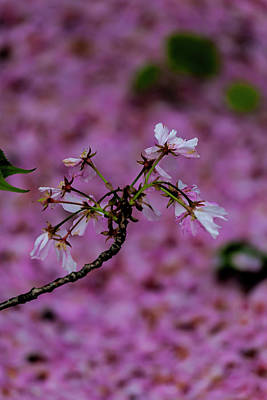 Royalty-Free and Rights-Managed Images - Cherry Blossoms by Robert Ullmann