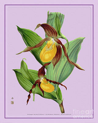 Old Masters Royalty Free Images - Orchid Flower Orchideae Plantae Illustration Royalty-Free Image by Baptiste Posters