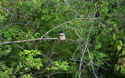 Farmhouse Rights Managed Images - Belted Kingfisher Royalty-Free Image by Linda Kerkau
