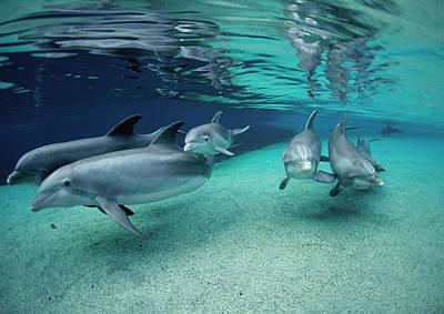 Photograph - Bottlenose Dolphin Tursiops Truncatus by Flip  Nicklin/ Minden Pictures