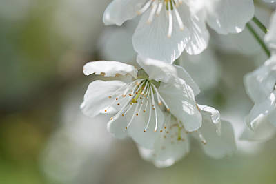 Achieving Royalty Free Images - Branch of a blossoming cherry tree Royalty-Free Image by Elisabetta Poggi