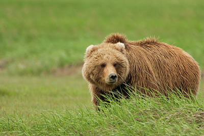 Photograph - Brown Bear, Katmai National Park by Mint Images/ Art Wolfe