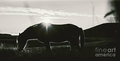 Animals Photos - Icelandic landscapes, sunset in a meadow with horses grazing  backlight by Joaquin Corbalan