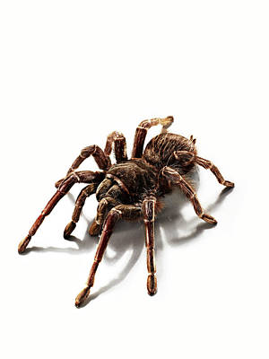 Photograph - Portrait Of A Hairy Tarantula In The by Michael Blann