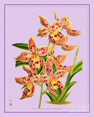 World War Two Production Posters - Orchid Flower Orchideae Plantae Flora by Baptiste Posters