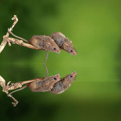 Unicorn Dust - ADorable and Cute harvest mice micromys minutus on wooden stick  by Matthew Gibson