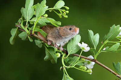 Colored Pencils - Adorable Cute Harvest Mice Micromys Minutus On White Flower Foli by Matthew Gibson