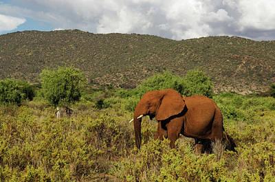 African Elephant Loxodonta Africana Art Print by Ariadne Van Zandbergen