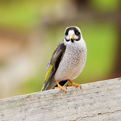 Photograph - Noisy Miner Bird By Itself by Rob D