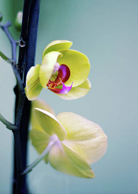 Photograph - Orchid Duet by Jessica Jenney