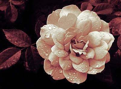 Photograph - Blush Rose Rain by Jessica Jenney