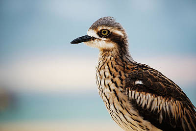 Photograph - Bush Stone-curlew Resting On The Beach. by Rob D