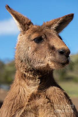 Photograph - Kangaroo Outside During The Day Time. by Rob D