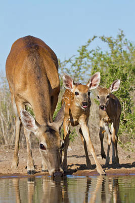 Animal Family Photograph - White-tailed Deer Odocoileus by Danita Delimont