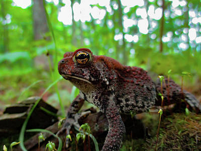Photo Royalty Free Images - Eastern American Toad 1 Royalty-Free Image by Angela Lizotte