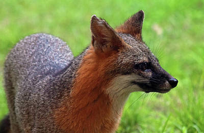 Photograph - Fox by Larah McElroy