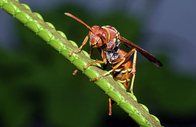 Photograph - Paper Wasp by Larah McElroy