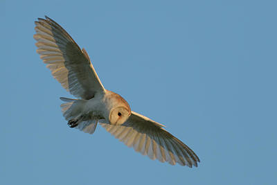 Barn Owl Wall Art - Photograph - Barn Owl by Ian Hufton