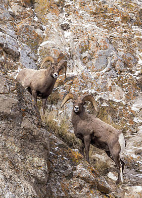 Photograph - Bighorn Sheep by Michael Chatt