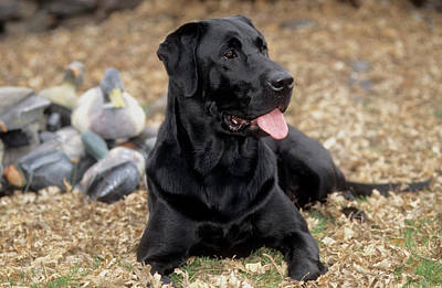 Photograph - Black Labrador Retriever by William Mullins
