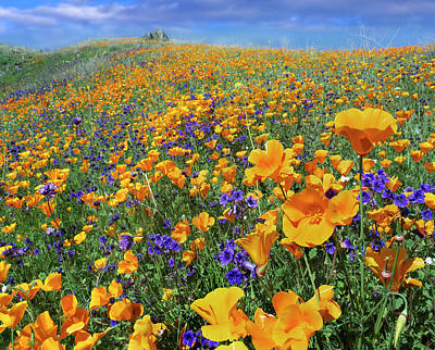 Scenery Photograph - California Poppy Eschscholzia by Tim Fitzharris/ Minden Pictures