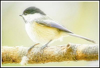 Photograph - Carolina Chickadee by A Gurmankin