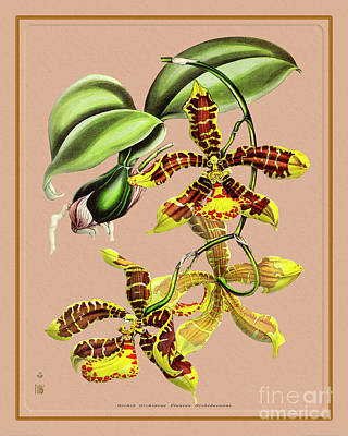 Garden Fruits - Orchid Flower Orchideae Plantae Botany by Baptiste Posters
