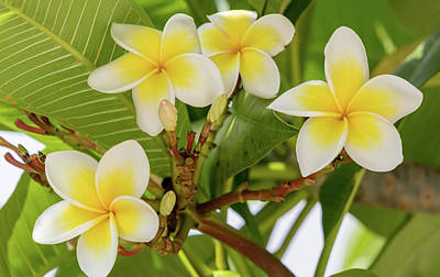 Photograph - Yellow And White Frangipani Flowers by Merrillie Redden