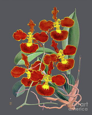 Royalty-Free and Rights-Managed Images - Orchid Old Print by Baptiste Posters