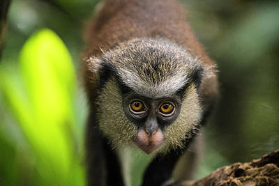 Photograph - A baby Mona Monkey in Lagos by Jwngshar Narzary