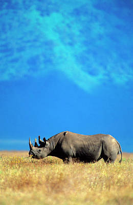 Photograph - A Black Rhino Browsing On A Grassy by Daryl Balfour