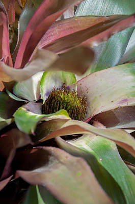 Photograph - A Blooming Bromeliad by Krysten Elaine Brown