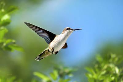 Photograph - Blue Green Hummingbird by Christina Rollo